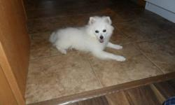American Eskimo for sale! Born in March, so almost 1 yr old. -FULL breed -tattoo on ear -comes with papers -house trained -small dog(runt of the litter) -comes with large kennel -great with kids Reason for selling: just dont have the time for her $350