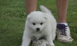 We have a male American Eskimo for sale in Chilliwack.  $550.00.  No Sunday calls. Contact 604 823 2152 or e-mail h.aikema@hotmail.ca.