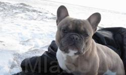 AMIaBULL Reg'd French Bulldogs of Distinction has a co-ownership opportunity available to the right home.  This co-ownership will be from 10 weeks old and entails a lowered price and a payback program($2500 initial investment repaid in full) for a rare