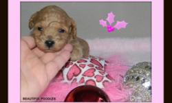 Please visit our website @:   beautifulpoodles.com     for more information and pictures    Each puppy comes with :    1rst needle  Vet check  1 year written health gaurantee  Health record  Dewormed  Tails and dew claws removed  Starter bag of puppy