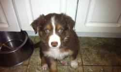 I have 5 pups in need of a new home. The parents are pure breed australian shepherds. They are great with kids . The pups are well socialize. I have 3 females and two males they are all red tri in colour This ad was posted with the Kijiji Classifieds app.
