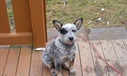 I am going to be breeding my Australian cattle dogs (Blue Heeler). These dogs are a good breed for herding cattle or sheep. Easy to train with a little work because it is bred into the breed. These are the only two that I know of in Nova Scotia. There are
