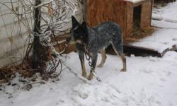 I have a 1.5 year old pure bred Australian Cattle Dog ( Blue Heeler ) hes a great family dog that is very friendly with kids loves to run and play fully house trained and is fine outside he has very nice coloring and would make a great pet or working