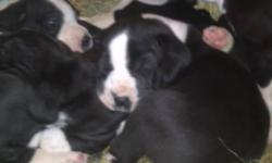 beautiful mantle great dane puppies for sale. females left. contact for more information. 778-881-0595