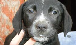 1 PUPPY LEFT... 1 black female. She is ready to go to her new home. She is very layed back and friendly.