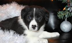 These puppies are ready to join their new families now. Each puppy has been dewormed 2 time's and have gotten their first set of puppy shots and will come with there health record as well as a health guarantee. They are super easy to house train,very