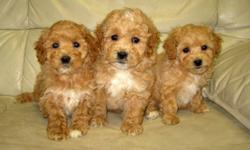 We have a litter of very nice Bichon Poo?s. 2 MALES and 1 FEMALE. They are born 14 |Oct. They are a pleasure to be around with. Non shedding and hypoallergenic. Will grow to appr. 12-15lbs. Great for families and people from all ages. Can go in an