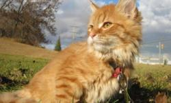 Breed: Domestic Long Hair - orange   Age: Baby   Sex: F   Size: M Sasha was abandoned by her owner and brought to the shelter by the SPCA. She is sweet, playful, good with other cats and likes dogs and would love to find a family with children to play
