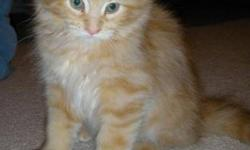 Breed: Domestic Medium Hair-orange Tabby - Orange   Age: Baby   Sex: F   Size: M Dixie, Dora, Darla, Ditto and Dotz were recently brought into care with their mom, Delilah. They were born approximately October 1. They are all very stunning and have great