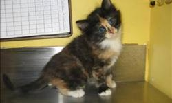 Breed: Domestic Medium Hair   Age: Baby   Sex: F   Size: M Hi I am Miss Dot, I am super adorable and very friendly! I love to play and explore everything. I hope to find my forever home very soon! I will have longer hair so I will need some grooming but I