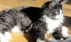 Breed: Domestic Short Hair-black and white   Age: Baby   Sex: F   Size: M PONGO, TOUFFU, TOUTITE and YOGI are brothers and sisters born on July 19th, 2011. Their mom was a stray cat who was taken in by some good people and mom had her kittens in the
