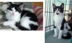Breed: Domestic Short Hair-black and white   Age: Baby   Sex: F   Size: M PICOLINO and BELLE are 2 beautiful black and white short hair kittens, born on March 9, 2011. They are playful and affectionate. These brother and sister have never been separated,