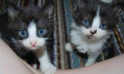 Breed: Domestic Short Hair   Age: Baby   Sex: F   Size: S Kittens, Kittens, Kittens!!! We have lots of kittens looking for loving homes. Please visit www.nwas.ca or contact info@nwas.ca for more info on what is avalible for adoption.   View this pet on