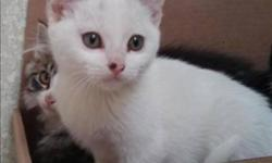 Breed: Domestic Short Hair   Age: Baby   Sex: F   Size: M Meow!! My name is Zena! I came to the shelter from 100 Mile House. I am pure white with a black spot on my nose. I am about 3 months old. I was fostered by a really nice family and I learned all