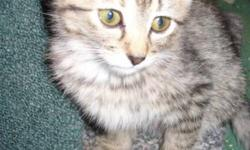 Breed: Tabby - Grey   Age: Baby   Sex: F   Size: S Dec. 19th, 2011 - Dora is approximately 8 wks old and is the sweetest little kitten ever! This precious baby was the only female out of a litter of 5. They were discovered living outdoors behind Harvey's.