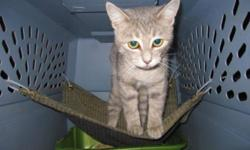 Breed: Tabby - Grey   Age: Baby   Sex: F   Size: M   View this pet on Petfinder.com Contact: Craig Street Cats   Winnipeg, MB