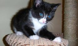 Breed: Tortoiseshell Tuxedo   Age: Baby   Sex: F   Size: M Huey, Dewey and Louise recently came into our rescue. These kittens are absolutely gorgeous! We will be looking for homes for these guys in the new year. They will be vaccinated, vet checked,