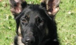 """Breed: German Shepherd Dog   Age: Baby   Sex: F   Size: L Please see our website for more information. GSDRescue@shaw.ca www.gsrbc.com img border=""""""""0"""""""" src=""""""""http://members.shaw.ca/gsdrescue/stonehome.gif"""""""" width=""""""""120"""""""" height=""""""""80"""""""">   View this pet on"""