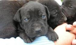Breed: Shar Pei Labrador Retriever   Age: Baby   Sex: F   Size: L These lovely Sharpei/Lab mix puppies were born to Tammy, who is also posted on our site for adoption, on September 11, 2011. Too much trouble to have in the house, their world consisted of