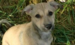 Breed: Whippet Retriever   Age: Baby   Sex: F   Size: M ZOE a 12 week old female DESI puppy that arrived from New Delhi India November 25th on an AAIDD airlift with her brother Zeke. Zoe and Zeke were found in a market by a dog lover when they were