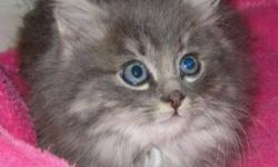 Breed: Domestic Long Hair-gray   Age: Baby   Sex: M   Size: M Jenna was born about September 7th, 2011. What a sweet little creature. The adoption fee is $70.00. If you want to adopt two cats the fee is $100.00 for both. This adoption fee includes the