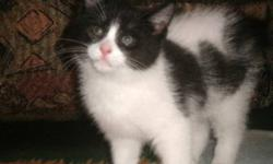 Breed: Domestic Short Hair-black and white   Age: Baby   Sex: M   Size: M Enya, Rouky, Mali and Maya are four adorable kittens born on September 2nd, 2011. Their mom, a stray cat, was rescued days before having her babies. Mom has been spayed since then.