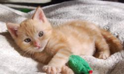 Breed: Domestic Short Hair-orange Tabby - Orange   Age: Baby   Sex: M   Size: M Neutered, Vaccinated, DOB August 1, 2011. Caleb is a handsome, gentle, sweet-natured boy with orange marmalade coloured fur and crystal clear green eyes. He is playful and