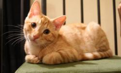 Breed: Domestic Short Hair-orange Tabby - Orange   Age: Baby   Sex: M   Size: S Tony and his sister Stripe were rescued from an old farmhouse where the conditions were less then favorable. Despite his unfortunate start in life Tony, has adapted well and