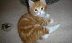Breed: Domestic Medium Hair - orange and white Tabby - Orange   Age: Baby   Sex: M   Size: L Huey, Dewey and Louise recently came into our rescue. These kittens are absolutely gorgeous! We will be looking for homes for these guys in the new year. They