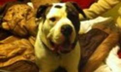 Breed: American Bulldog   Age: Baby   Sex: M   Size: L Hi ,I am Jack and I am 18 months old.I used to have a family but they left me at a boarding kennel and never came back.I am looking for an energenic family becaus e I love to play and go for walks .I
