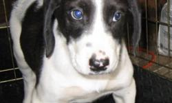 Breed: Bluetick Coonhound Treeing Walker Coonhound   Age: Baby   Sex: M   Size: M Chester is a 9 week old Blue Tick/ Walker X puppy. A puppy like Chester will grow up to be a friendly, affectionate,gentle dog who will get on well with adults and children