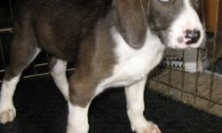 Breed: Bluetick Coonhound Treeing Walker Coonhound   Age: Baby   Sex: M   Size: M Hunter is a 9 week old Blue Tick/ Walker X puppy. A puppy like Hunter will grow up to be a friendly, affectionate,gentle dog who will get on well with adults and children