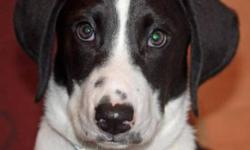 Breed: Bluetick Coonhound Treeing Walker Coonhound   Age: Baby   Sex: M   Size: M Chester is a 13 to 14 week old Blue Tick/ Walker X puppy. A puppy like Chester will grow up to be a friendly, affectionate,gentle dog who will get on well with adults and