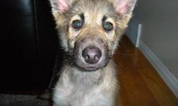 Breed: Shepherd   Age: Baby   Sex: M   Size: L COURTESY POSTING - ANY QUESTIONS PLEASE EMAIL rescuework86@hotmail.com This handsome guy is Franklin! He was rescued before christmas and is now ready for his forever home! He is approximately 11 - 12 weeks