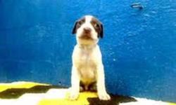 """Breed: Pit Bull Terrier   Age: Baby   Sex: M   Size: M hello if we could talk we would say """"thank you """" for not letting us die .Yes all 5 of us were to be euthanized .Just babies, we did not ask to be brought into this world .We are now safe and need"""