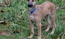 Breed: Whippet Retriever   Age: Baby   Sex: M   Size: M ZEKE is a 12 week old male desi pup that arrived Nov 25th from New Delhi India on an AAIDD airlift with his sister Zoe. Zeke and Zoe were found when they were 4 to 5 weeks old in a busy market with
