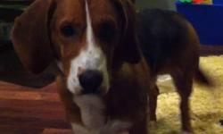 We are looking for a new home for our Basset Hound cross. He is neutered, registered, vaccinated, tattooed, house & kennel trained. He would make a great family pet, and needs a yard that he can play in. He is very social and friendly. We are heart-broken