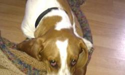 Hello,   My family is looking to find a forever home for our full Basset Hound, Barkley. He is a wonderful dog, is healthy, and is up to date on all shots (until summer 2012). Barkley is very loving and great with kids.   We will also be giving away of