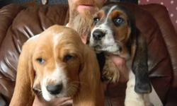 4 to choose from family raised basset hound puppies.they are very playful raised around kids other pets and out on a farm   come with first shots dewormed 3x and vet checked   all have wonderful markings 2 males  1 tri 1 lemon 2 females both lemons