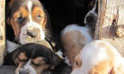 Adorable basset hound puppies for sale. Both tricolored  or lemon/white. Farm raised, first shots, dewormed.  Excellent with children, calm and lovable.  Available after November 4, 2011.   1-306-236-8878.  Individual pictures available upon request.