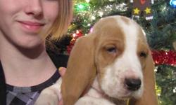 We have 4 adorable basset hound pups left from a litter of 10. There are only males left and they are lemon/white in colour.  They have been dewormed and have their 1st shots. They make a great pet for anyone as they are very friendly and low maintenance.