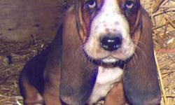 Beautiful Baby Basset Hound Puppies available, both red and white and tri-colored. They come with their first shots, dewormed and guaranteed and will be redy to go home the latter part of January. Parents are CKC registered and are great examples of the