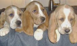 With eyes that will break your heart, these beautiful bassett pups are ready for their forever homes.   There are 7 males in this litter: 3 lemon and white and 4 tri-colour.   All have had their 1st shots and deworming.  Parents are on site.   We are