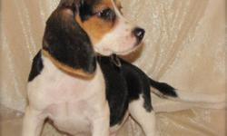 One male Beagle puppy ready to go now.  He is vet checked, has first shots and dewormed.  Vet records along with a health guarantee accompany this puppy to his new home.  Contact us for further information and to set a day and time to pick out your puppy.