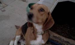 Male tri colour beagle, good with people likes other dogs looking for a good home.