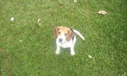 We have a beautiful purebred Beagle to a good home she is a female, she is vet checked  and 1st shots, not spayed not house trained. $375.00 firm