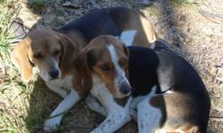 We have a pair of purebred Beagle dogs for sale. They are wonderful pets with quiet, loving personalities but we are moving and can't take them. These dogs have always been together and are best friends. They have 6-8 puppies per litter. They have had 3