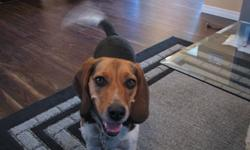 Desperately Seeking Beagle My 3 year old Beagle Female Neutered is lonely for companionship. We are seeking to rescue any Hound Breed or Beagle Give them a happy, healthy and loving home. We are enclosing pictures of our Beagle and hope you know someone