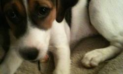 Beagle jack russell   Hi im selling my 8 week old Beagle jack russell. Its an excellent dog, its a female. The reason why im selling it is because im not ready for a dog. Message me if your interested please.   Thanks