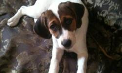9 week old beagle jack Russell. The dog is a female and she's really cute. I can't keep her because I have a trip that I must attend for personal reasons. Just bought the dog now I'm selling it. Please help me out, I am flexible on the price. Thanks This